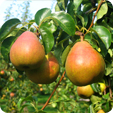 Our Pear Varieties