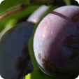 Our Plum Varieties